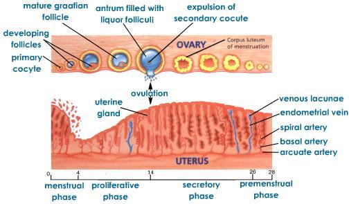 менструалния цикъл фази-и-хормони-555